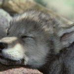 معلومات عن صغير الذئب و التكاثر بين الذئاب
