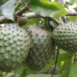 فوائد وأضرار فاكهة القشطة لمرضى الكلى