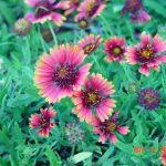 طريقة زراعة النباتات الحولية الشتوية و أهم أنواعها