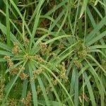 فوائد نبات السعد مع زيت الزيتون لإزالة الشعر