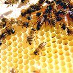إنشاء وحدة أبحاث النحل بجامعة الملك فيصل