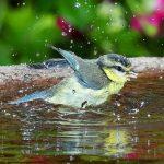 أفضل طرق لاستحمام الطيور