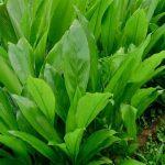 كيفية زراعة نبات الاستيفيا