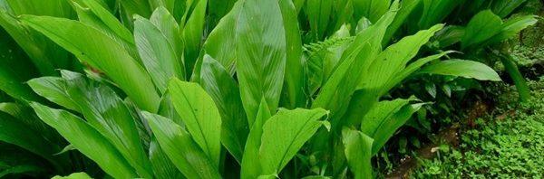 كيفية زراعة نبات الاستيفيا -600x198