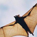 معلومات عن تكاثر الخفافيش