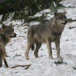 جهود فرنسا في الحفاظ على الذئاب البرية من الإنقراض
