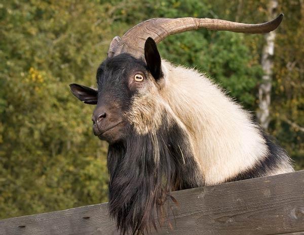 معلومات أشهر أنواع الماعز