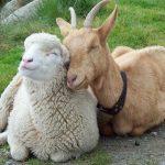 أبرز الفروقات بين الماعز و الغنم