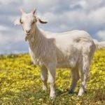 معلومات عن أشهر أنواع الماعز