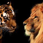 مقارنة بين الأسود و النمور