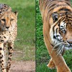 مقارنة بين النمر و الفهد