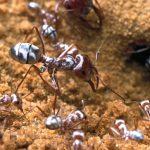قدرة النمل الفضي على التحكم بالموجات الكهرومغناطيسية