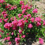 طريقة زراعة الورد تحت الأغطية