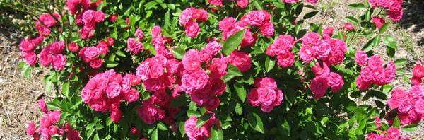 طريقة زراعة الورد الأغطية
