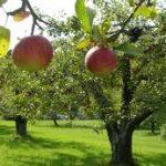كيفية زراعة بساتين الفاكهة
