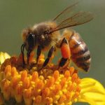 أهمية رحيق الأزهار في معالجة النحل