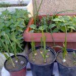 طريقة زراعة الكراث في المنزل