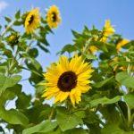 فوائد زيت عباد الشمس للعناية بالبشرة