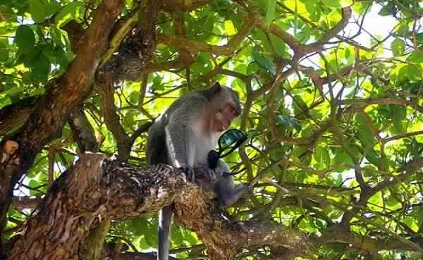 القرود للمتعلقات الشخصية - غابة أولواتو للقرود في اندونيسيا