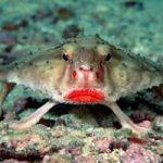 معلومات عن سمكة الخفاش ذات الشفاه الحمراء