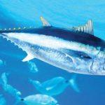 الفرق بين سمك الماكريل والتونه