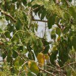 كيفية زراعة شجرة الآراك و أهم فوائدها