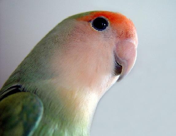 كيفية تربية طائر الروز و الاعتناء به المرسال