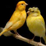 كيفية التمييز بين ذكر و أنثى الكناري