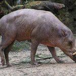 معلومات عن حياة حيوان غزال الخنزير