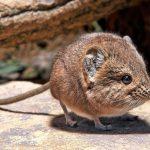 """معلومات مثيرة حول فأر صحراء ناميبيا """" الفأر الفيل """""""