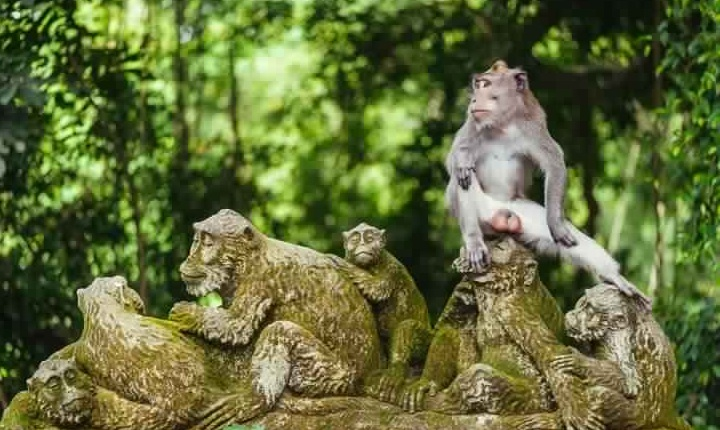 الماكاك في غابة قرود أوبود - غابة القرود المقدسة من بادانغتيغال