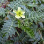 فوائد نبات التريبولوس في زيادة الاخصاب للرجال والنساء