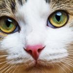 7 نصائح لعلاج التهابات العين في القطط