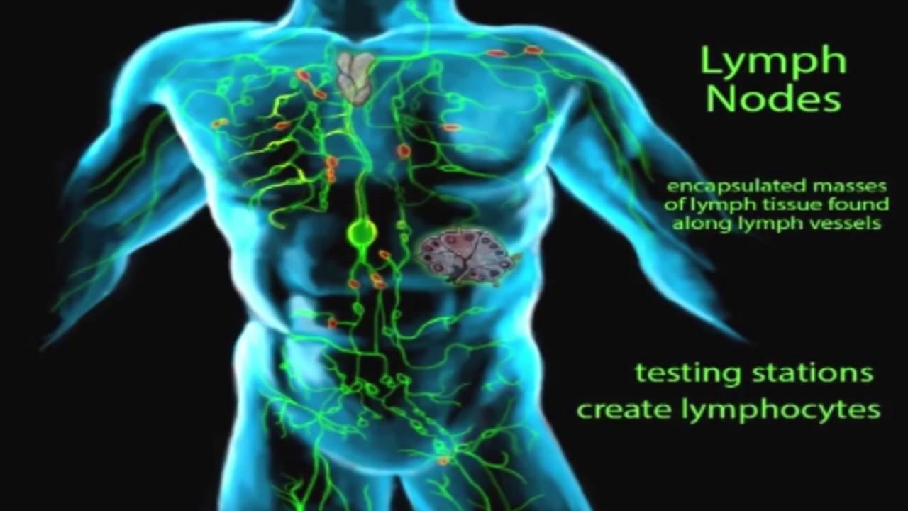 تكوين الجهاز الليمفاوي ووظيفته المرسال