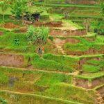 جولة إلى حقول تيغالالانغ للأرز في بالي