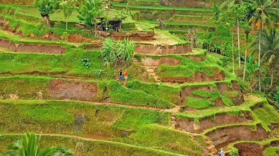 التذكارية في حقول الأرز - حقول تيغالالانغ للأرز في اوبود