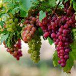 الفيتامينات الموجودة في العنب