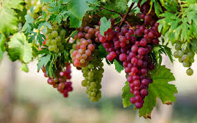 الفيتامينات الموجودة في العنب العنب-و-الف