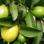 فوائد ورق الجوافة للعناية بالشعر
