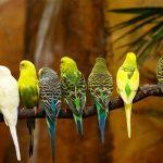 طريقة تدريب العصافير الاسترالي على الكلام