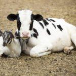 الاختلافات بين حليب الأبقار وحليب الماعز