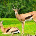 معلومات عن انقراض حيوان الغزال