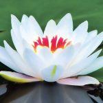 طريقة زراعة زهرة اللوتس