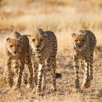 اسباب انقراض حيوان الفهد