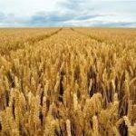 دراسة : تزايد انتاج القمح في التربة المالحة