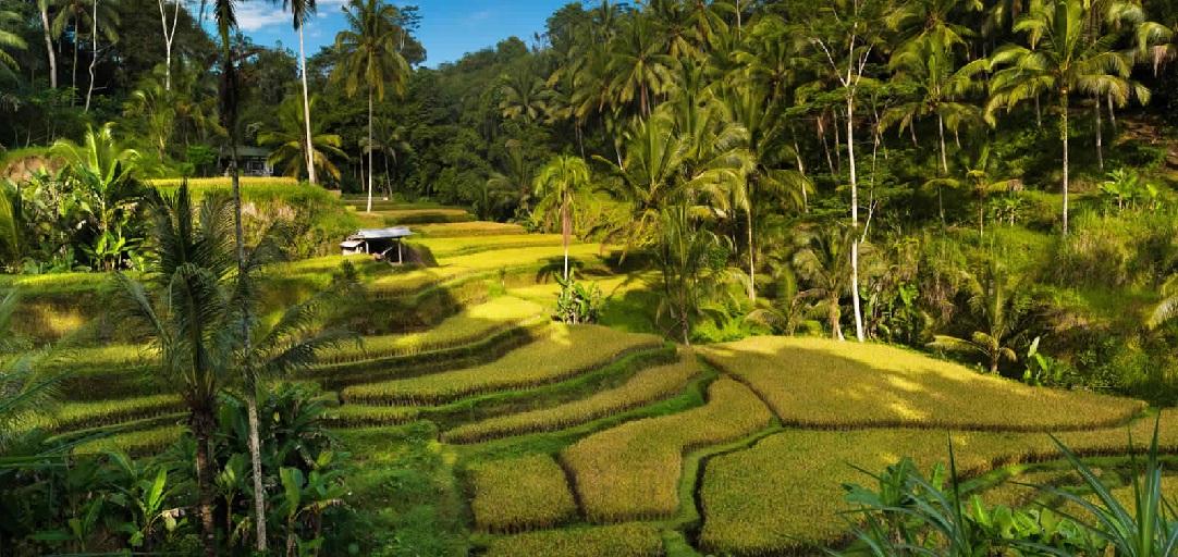 تيغالالانغ للأرز - حقول تيغالالانغ للأرز في اوبود