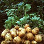 الفوائد الصحية من اوراق البطاطس