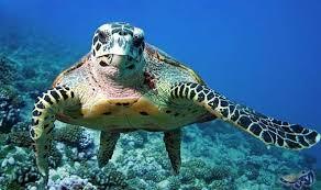 أنواع السلاحف البحرية المهددة بالإنقراض