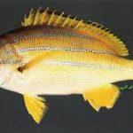 معلومات عن السمك الشعري