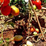 فوائد الطماطم والتفاح للتقليل من خطر التدخين